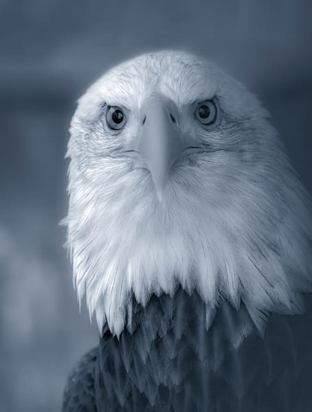 Bird Prey Bald Eagle USA wildlife falcon|Wall Decor fleblanc