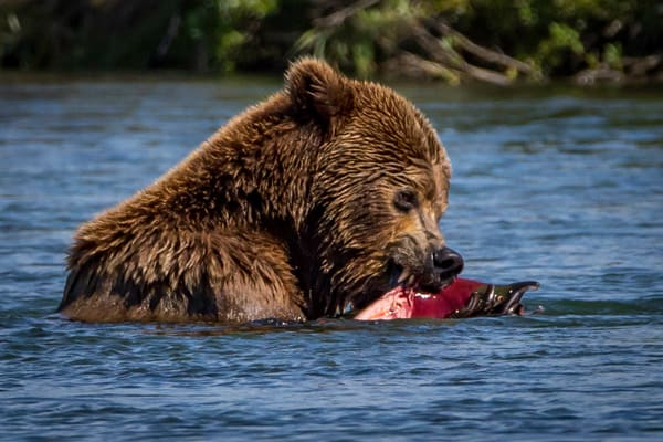 Sushi for Bears
