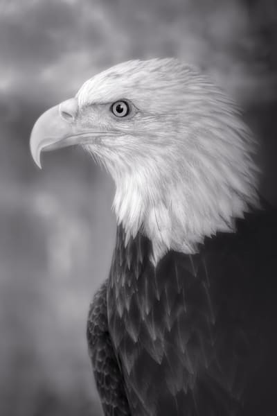 Bald Eagle Predatory Liberty Close-up|Wall Decor fleblanc