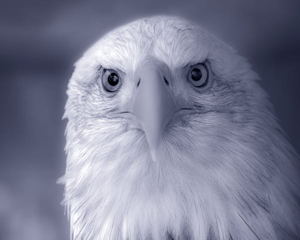 Majestic Endangered Bald Eagle Close-up|Wall Decor fleblanc