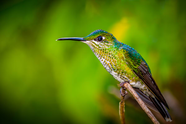 Humming Bird-1231
