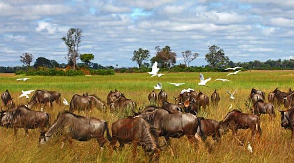 Wildebeest Herd Grazing  In Open Grasslands.  Photography Art | Lee Loventhal Photography