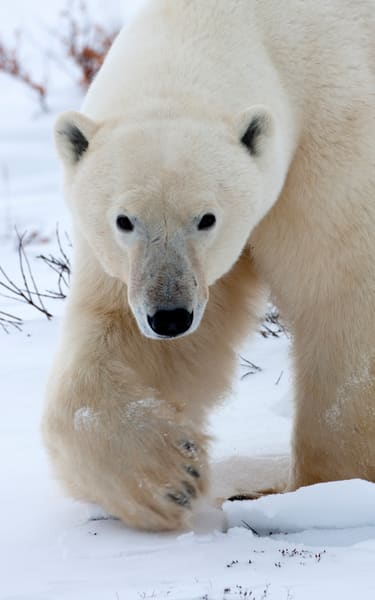 Polar Bear, Don't Mess with Me!, Churchill