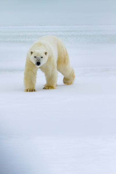 Polar Bear I, Churchill