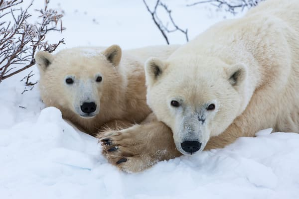 Polar Mom & Daughter, Churchill
