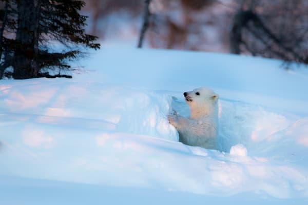 Polar Cub Looking, Churchill