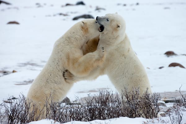 Polar Bear Sibling Rivalry I, Churchill
