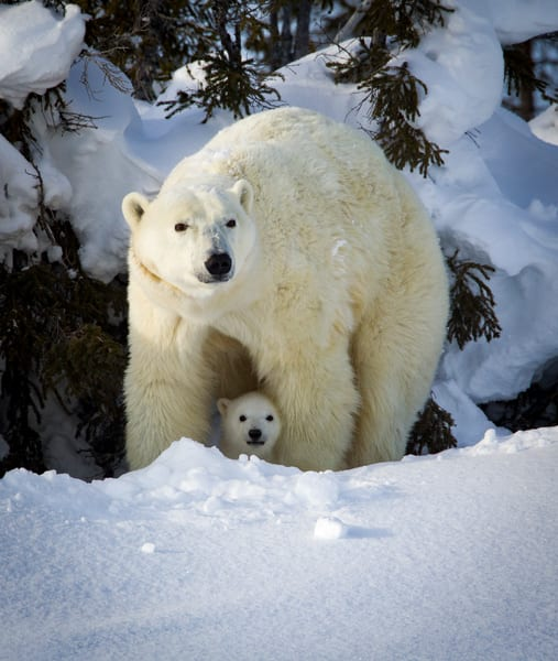 Polar Bear Cub Guarded, Churchill