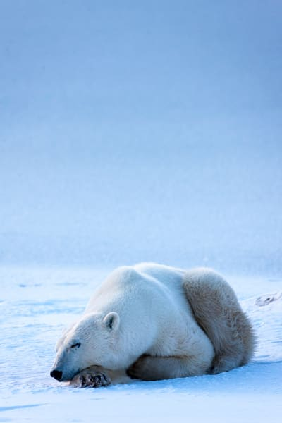 Polar Bear Resting, Churchill