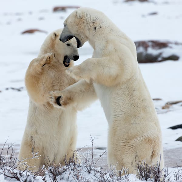 Polar Bear Sibling Rivalry III, Churchill