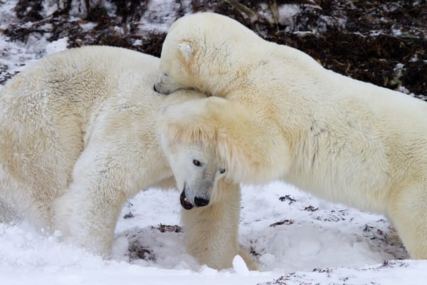 Polar Bear Sibling Rivalry II, Churchill