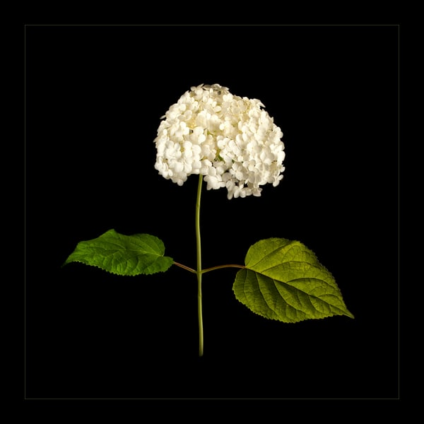Photograph of White Hydrangea for sale as fine art.