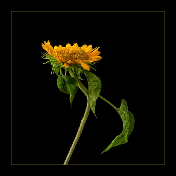 Dancing Sunflower, photograph of single sunflower for sale as fine art.
