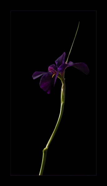 Photograph of purple iris for sale as fine art.