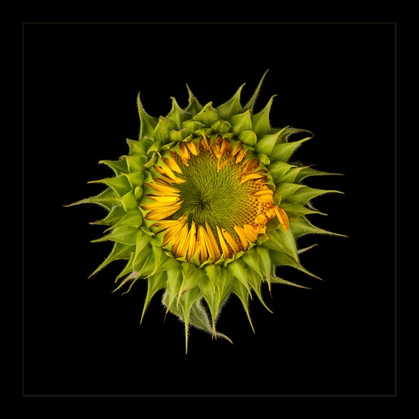 Photograph of Emerging Sunflower for sale as fine art.