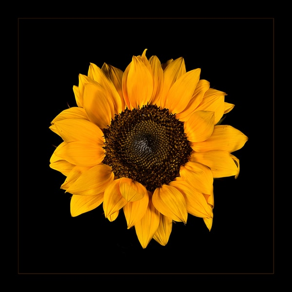 Photograph of Sunflower blossom for sale as fine art.