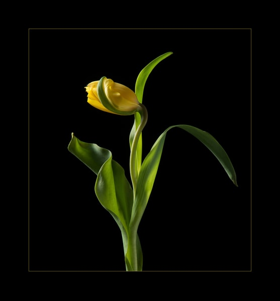 Photograph of a Yellow Tulip for sale as fine art.
