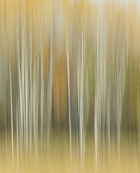 Golden Birches 2 for sale as fine art photograph.