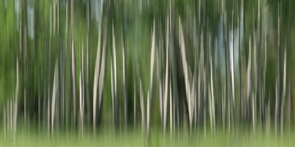 Photograph of Aspen Trees in Summer for sale as fine art.