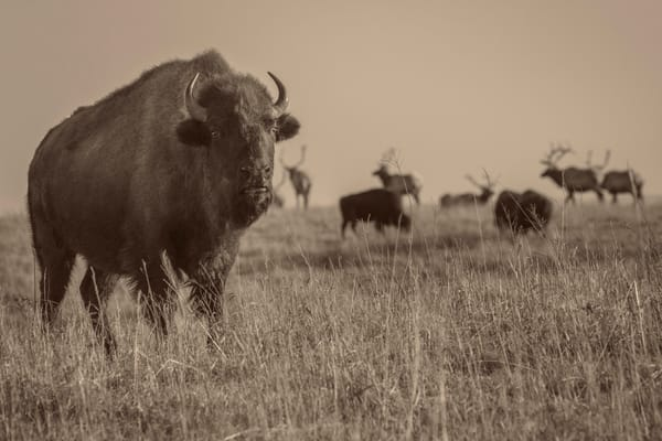 Bison And Elk On The Kansas Prairie photograph for sale as art.