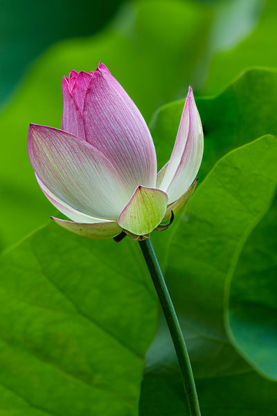 Blooming Lotus Blossom photograph for sale as art.