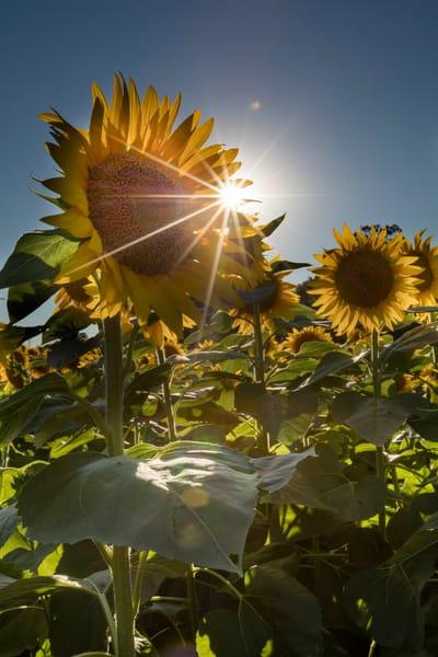 Sunburst On The Sunflower Field photograph for sale as art.