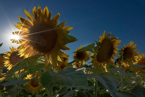 Sunburst On A Field of Sunflowers photograph for sale as art.