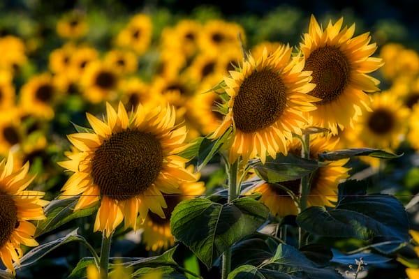 Field Of Kansas Sunflowers photograph for sale as art.