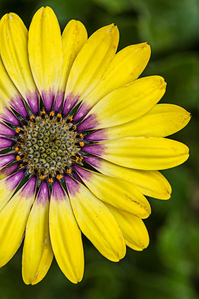 Yellow Gerbera Daisy photograph for sale as art.