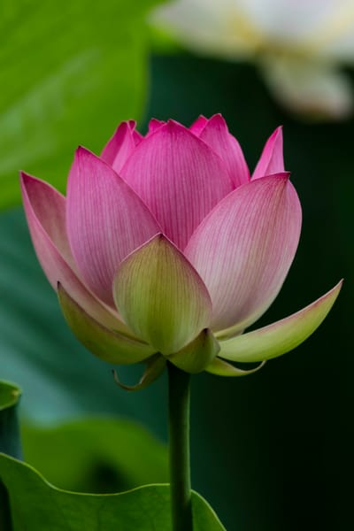 Open Blooming Lotus Blossom photograph for sale as art.