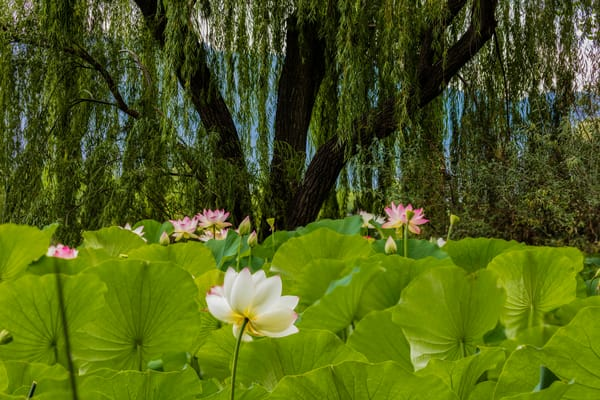 Lotus Blossom Garden In Bloom photograph for sale as art.