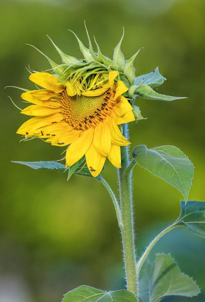 Partial Opening Sunflower photograph for sale as art.