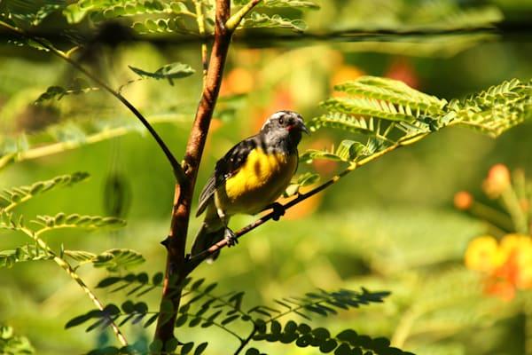 Sugar Bird photo print