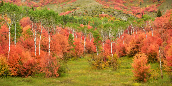 Aspen and Fire - Fall Aspen and Red Maple Photographs Palisades Idaho - Fine Art Prints on Metal, Canvas, Paper & More By Kevin Odette Photography