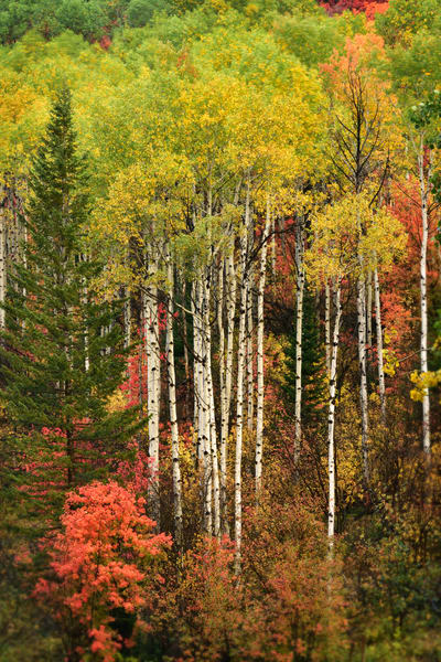 Aspen Rendezvous - Fall Aspen Colors and Red Maple Photographs Palisades Idaho - Fine Art Prints on Metal, Canvas, Paper & More By Kevin Odette Photography