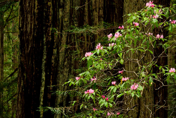 Redwoods Rhododendron Bloom - California Pacific Northwest - Fine Art Prints on Metal, Canvas, Paper & More By Kevin Odette Photography