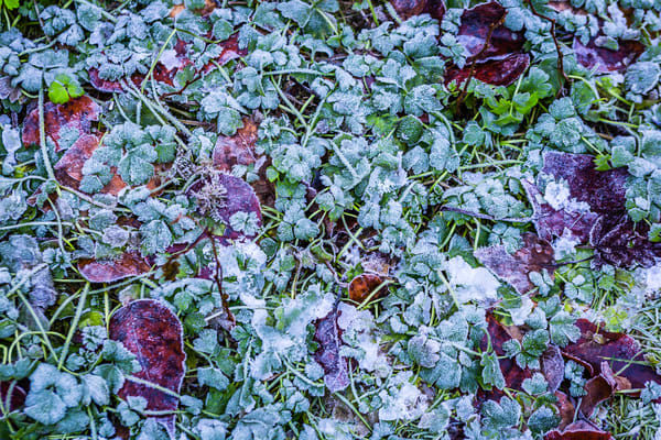 Early Frost