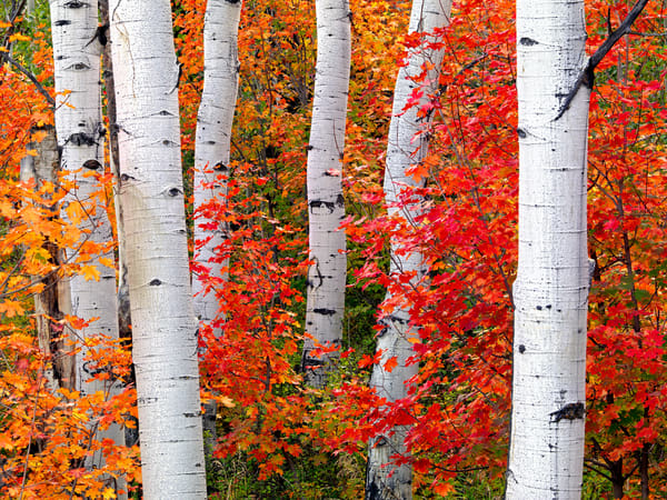 Aspens in Autumn - C1038D