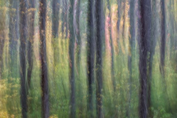 Soft light through the pines