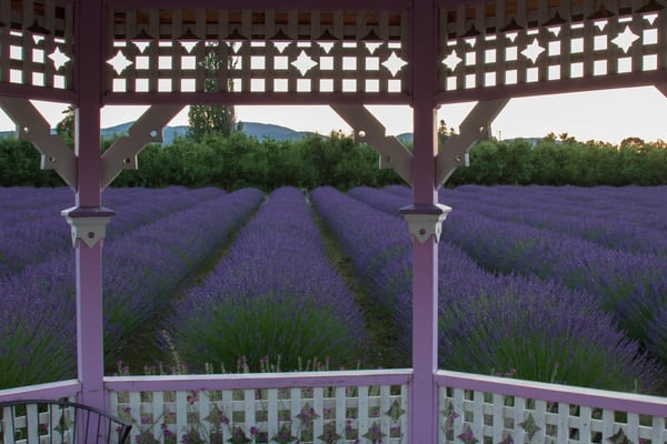 Lavender Field From The Gazebo photograph for sale as art by Mike Jensen.
