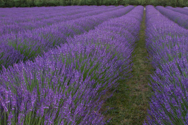 Rows Of Lavender photograph for sale as art by Mike Jensen.