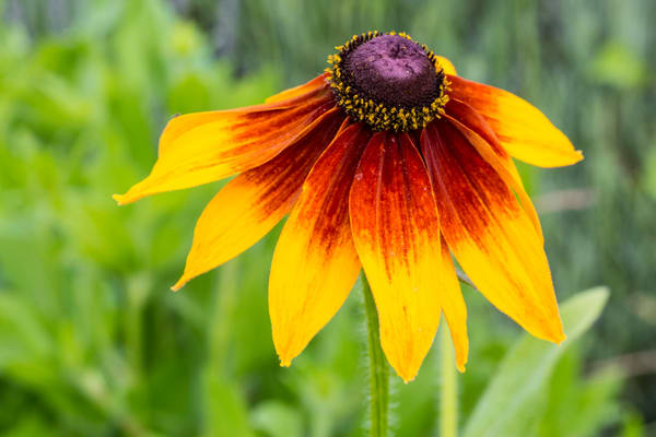 Wild Blanket Flower photograph for sale as art by Mike Jensen.