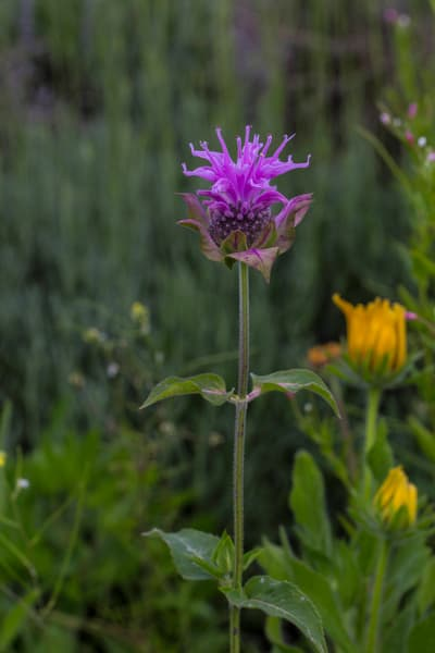 Wild Thistle photograph for sale as art by Mike Jensen