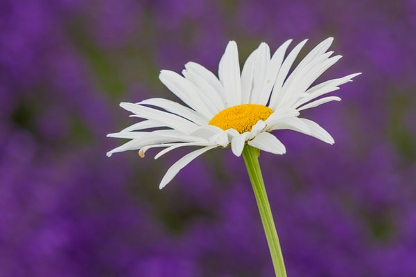 Lonesome Daisy In Lavender Field for sale as art by Mike Jensen