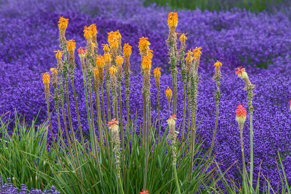 Yellow Wildflowers In Lavender Field for sale as art by Mike Jensen