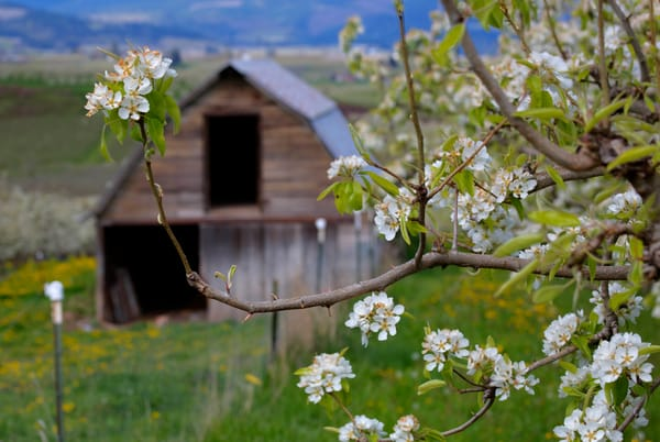 Apple Blossoms Frame Old Barn photograph as art by Mike Jensen