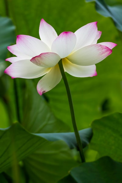 Lotus Blossom In Full Bloom photograph for sale as art by Mike Jensen