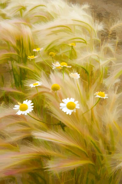 daisies in middle of soft weeds