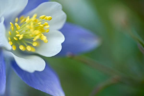 Blue Columbine Closeup