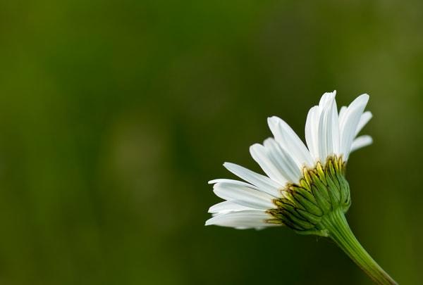 Oxeye Daisy Profile